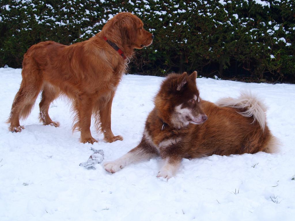 Две красные канадские эскимосские собаки фото
