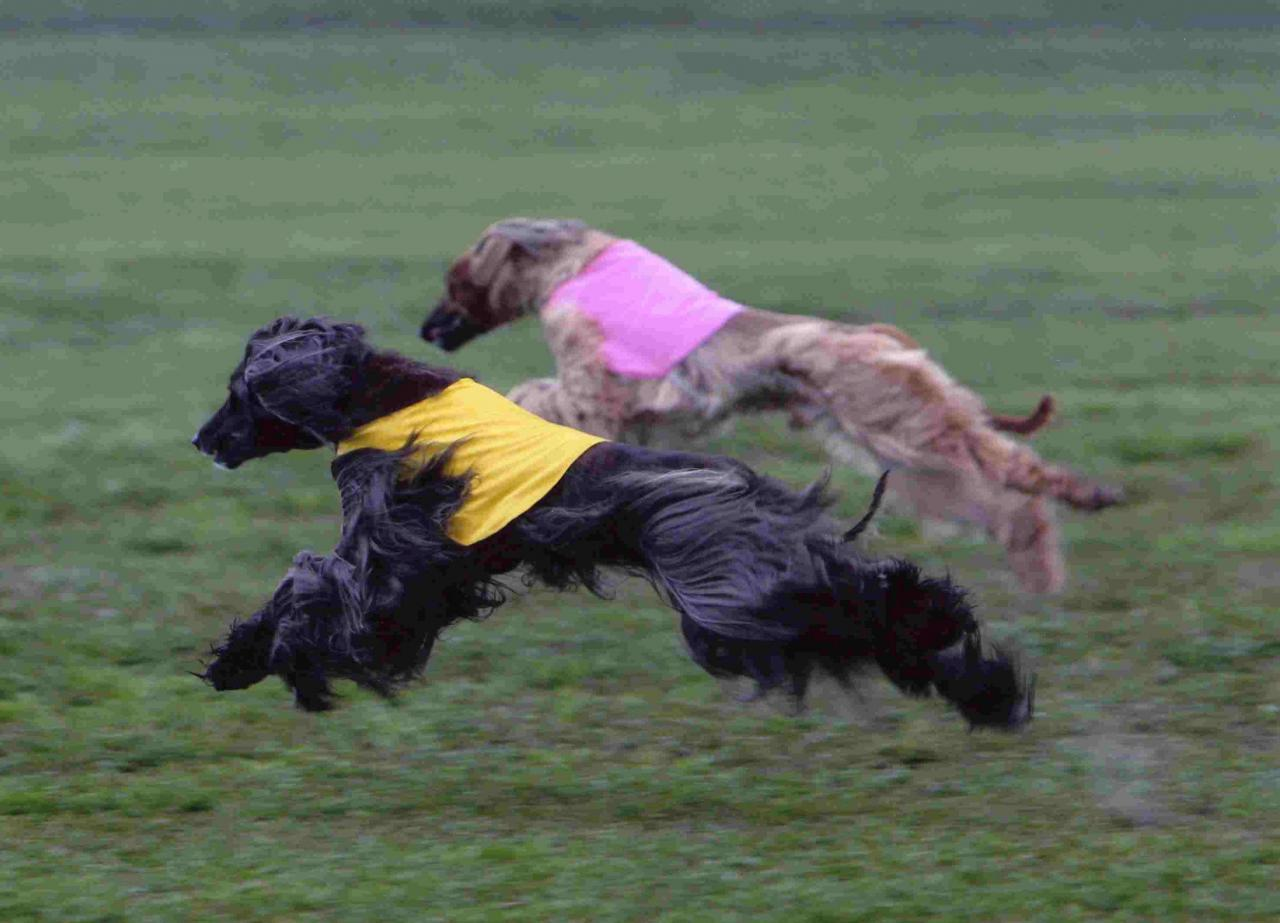 Two running Afghan Hounds wallpaper