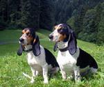 Two Schweizer Laufhund dogs