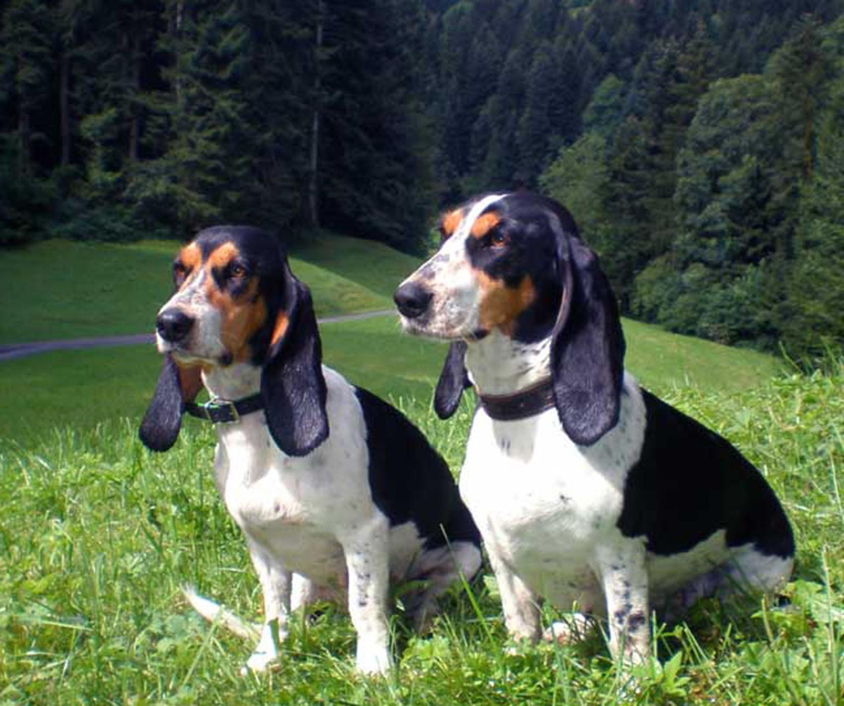 Две швейцарские гончие фото