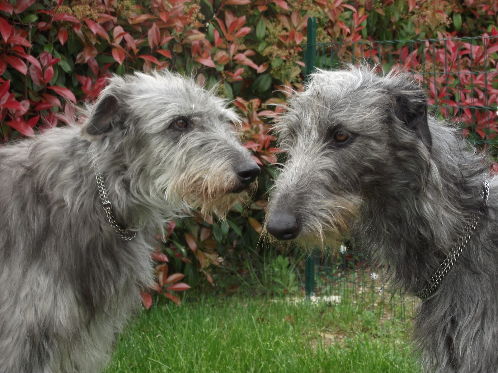 Two Scottish Deerhound dogs wallpaper