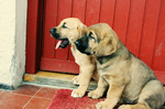Two small Broholmer puppy