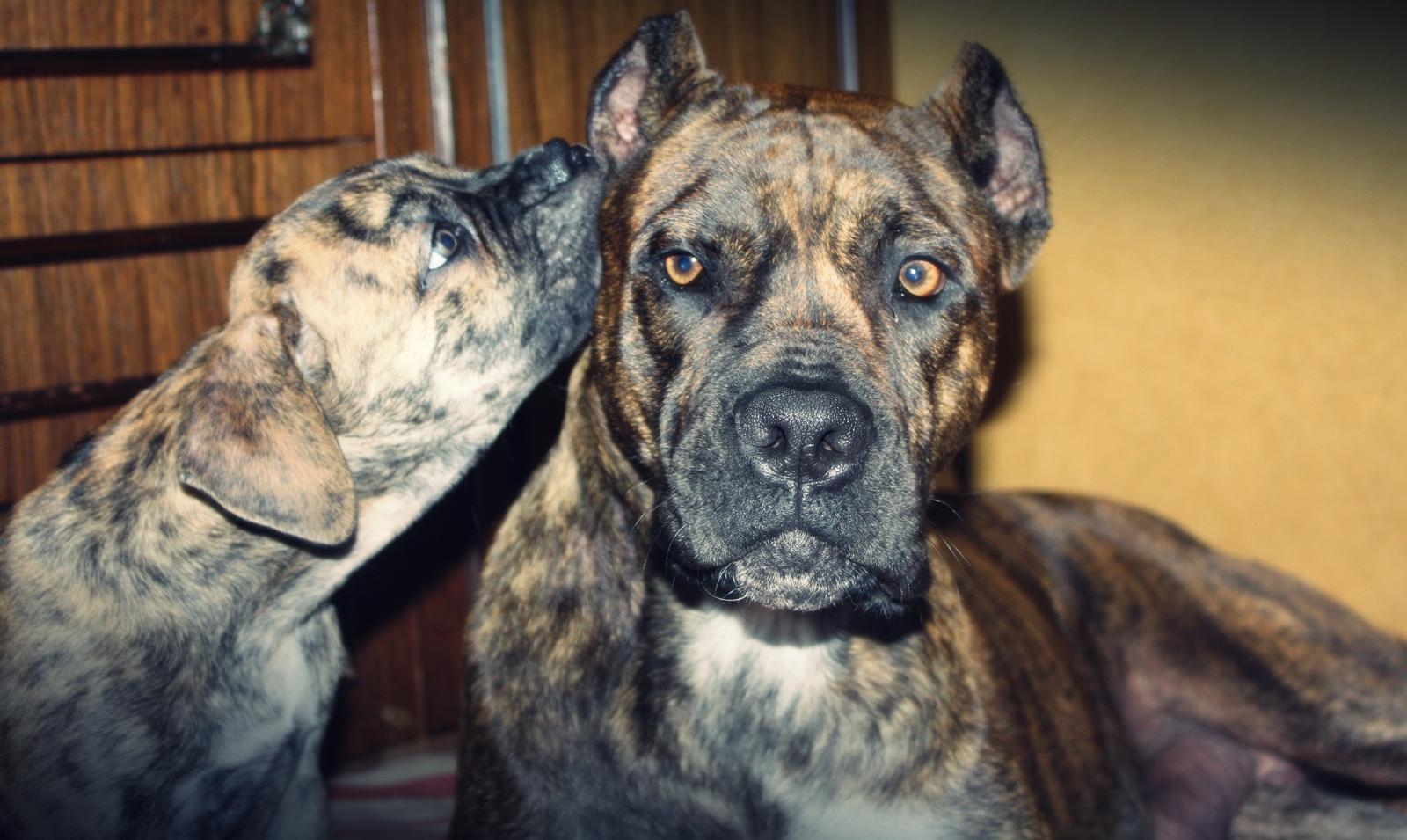 Две милых собаки алано фото