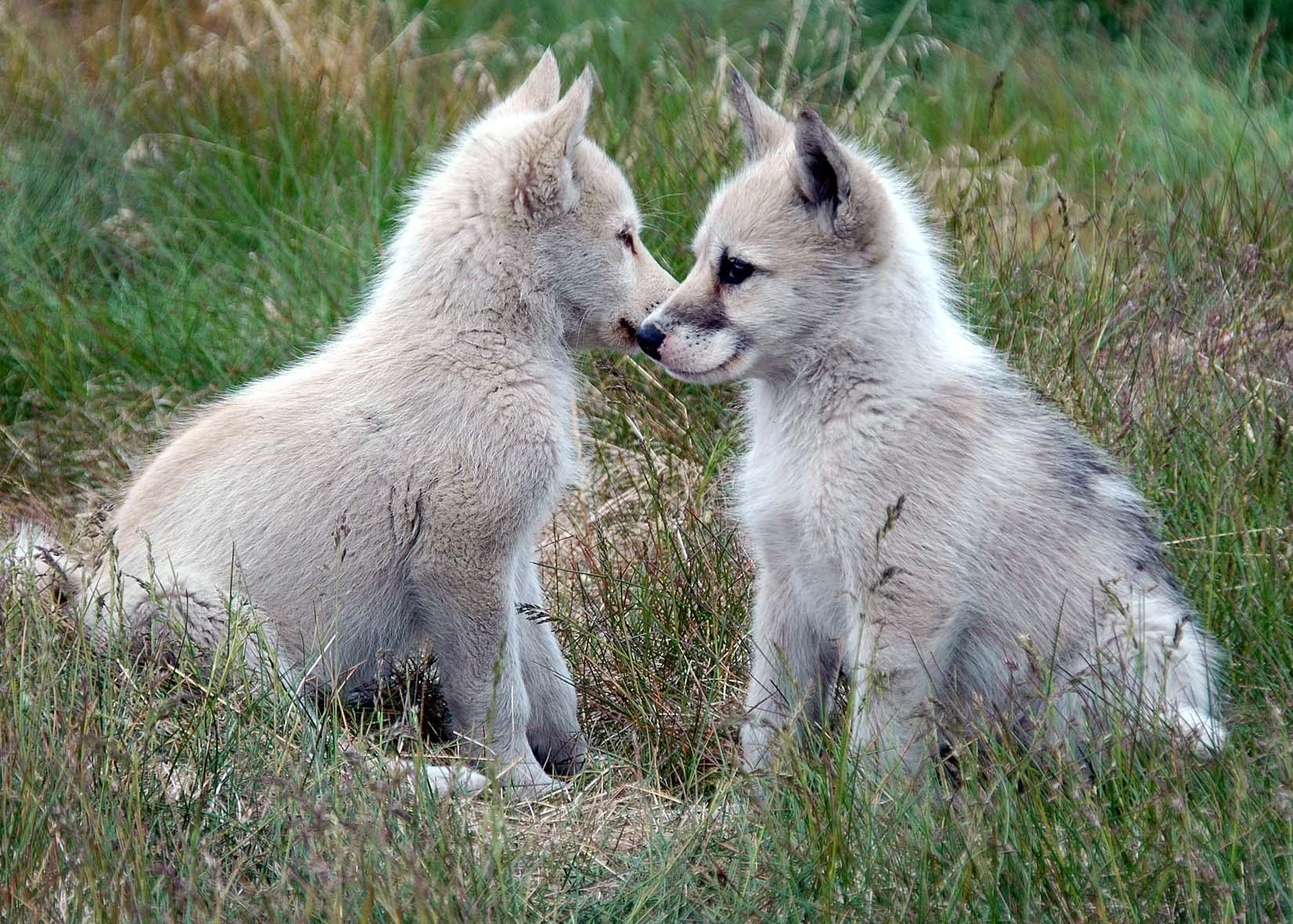 Two sweet Greenland dog puppies wallpaper