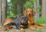 Two Tyrolean Houndin dogs