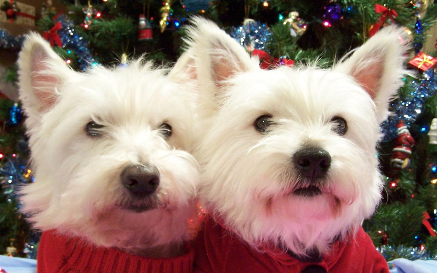 Two West Highland White Terrier dogs wallpaper
