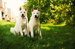 Two white Akita Inu dogs