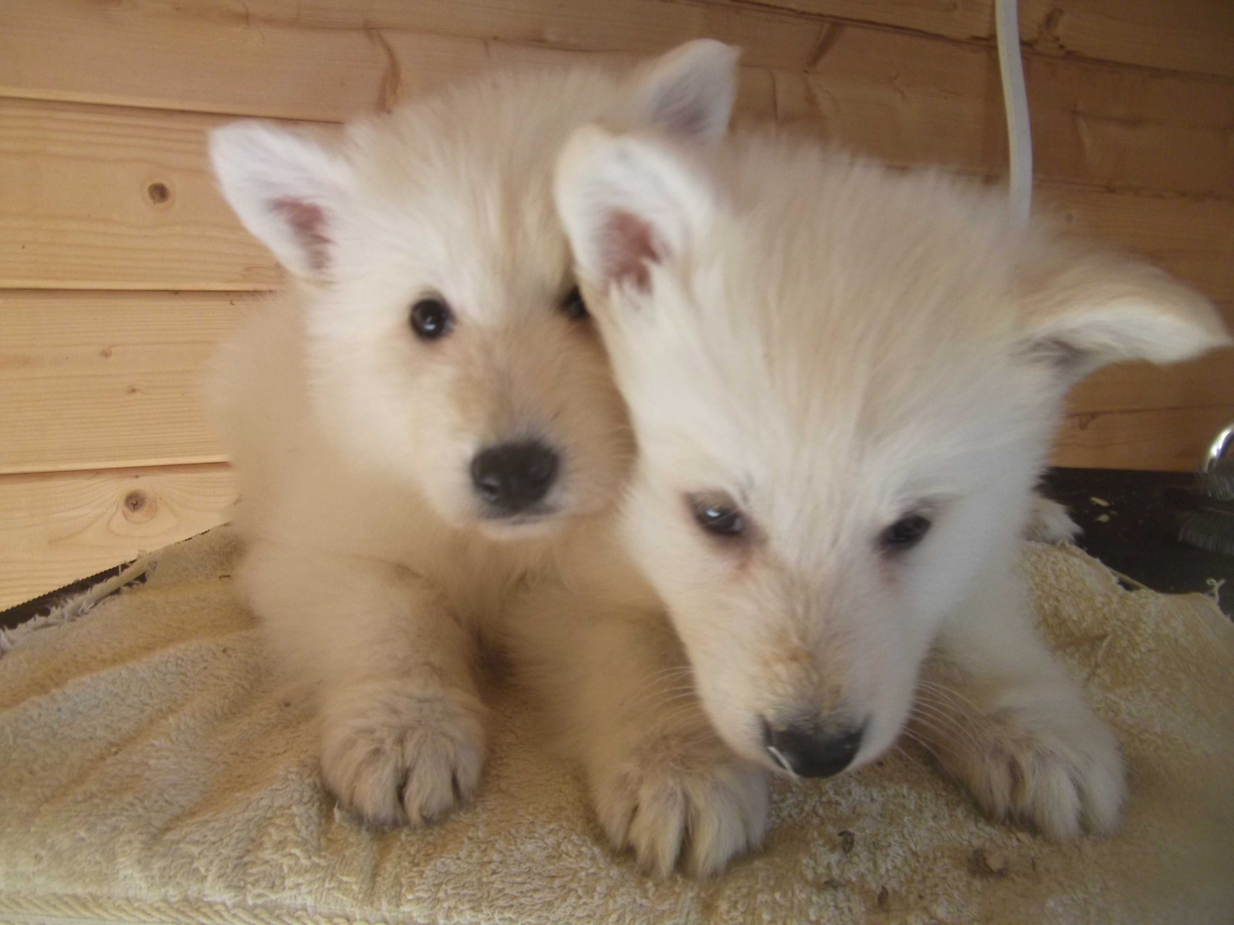 Two white Berger Blanc Suisse dogs wallpaper