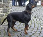 Tyrolean Houndin dog on the street