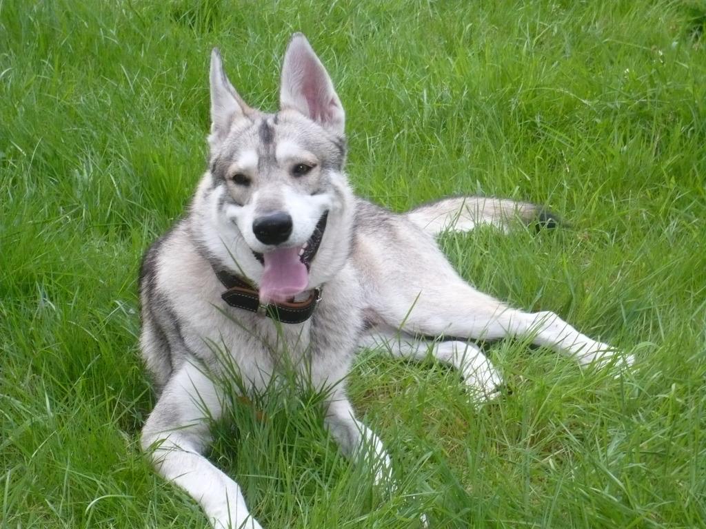 Utonagan dog on the grass wallpaper