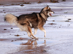 Utonagan dog on the seaside