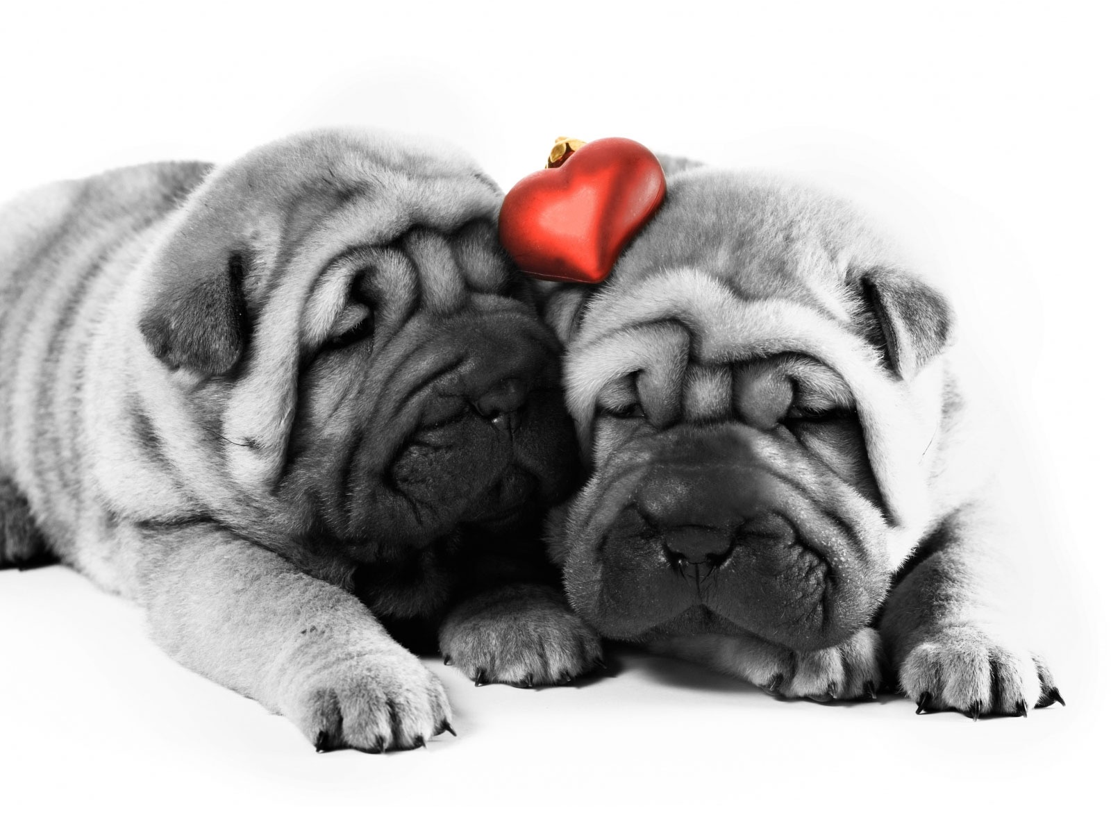 Valentine Shar Pei dogs wallpaper