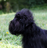 Very cute Affenpinscher