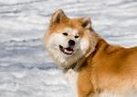 Very cute Akita Inu Dakota