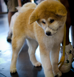 Very cute Akita Inu dog