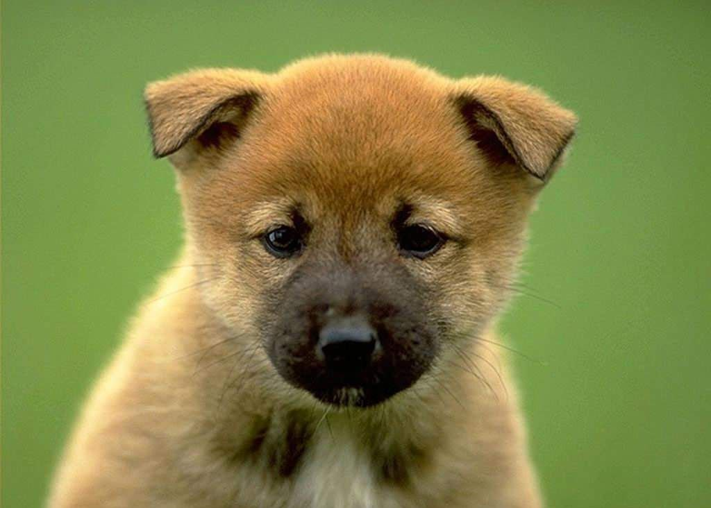 Very cute American Akita wallpaper