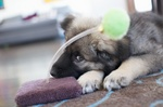 Very cute American Alsatian puppy
