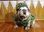 Veterans Day Bulldog