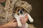 Veterans Day Bulldog with his owner