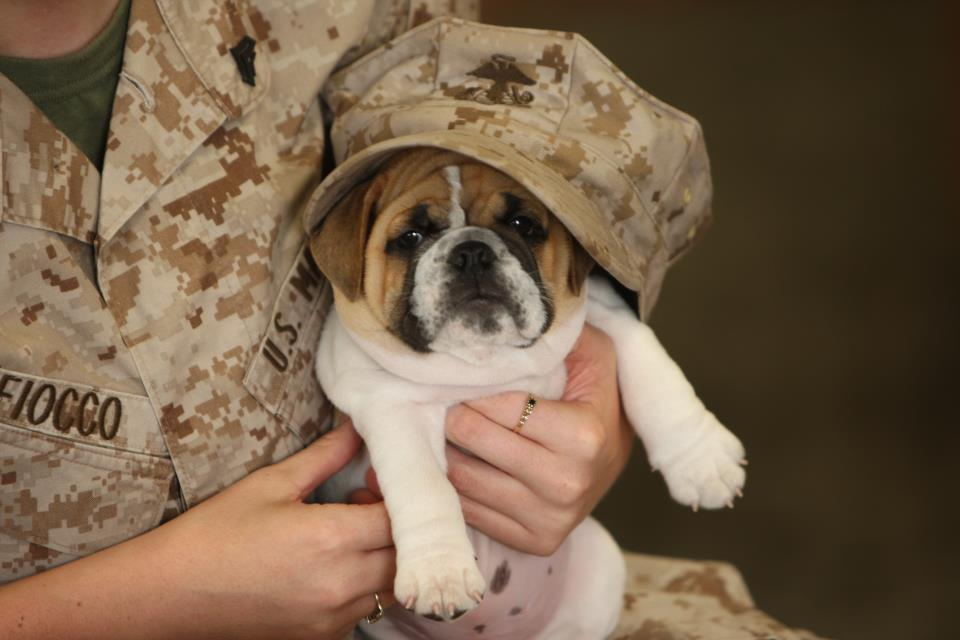 Veterans Day Bulldog with his owner wallpaper