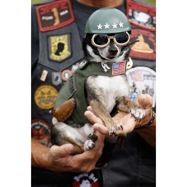 Veterans Day Chihuahua wallpaper
