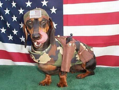 Veterans Day Dachshund portrait фото