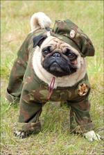 Veterns Day Pug
