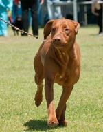 Vizsla on the dog show