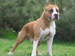 Walking American Staffordshire Terrier