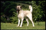 Walking Anatolian Shepherd Dog
