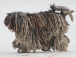 Walking Bergamasco Shepherd dog