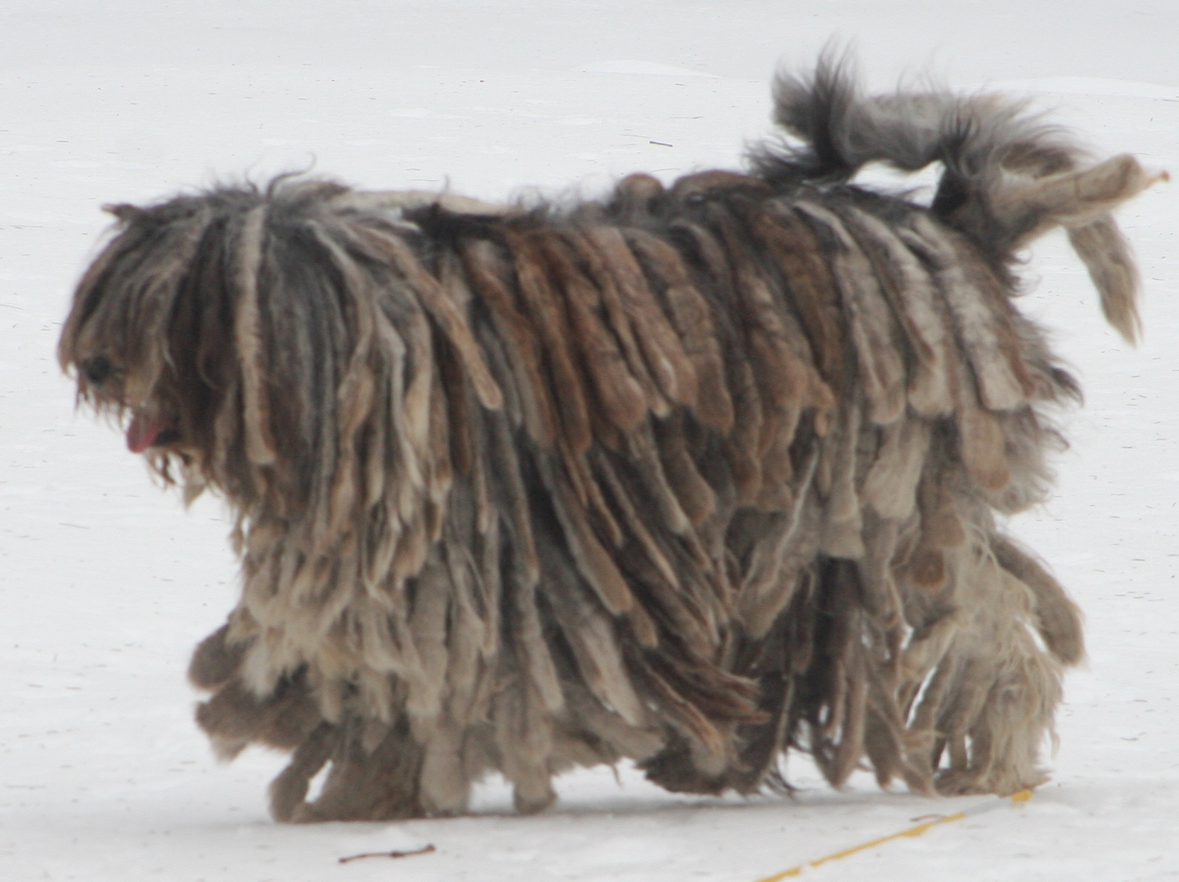 Walking Bergamasco Shepherd dog wallpaper