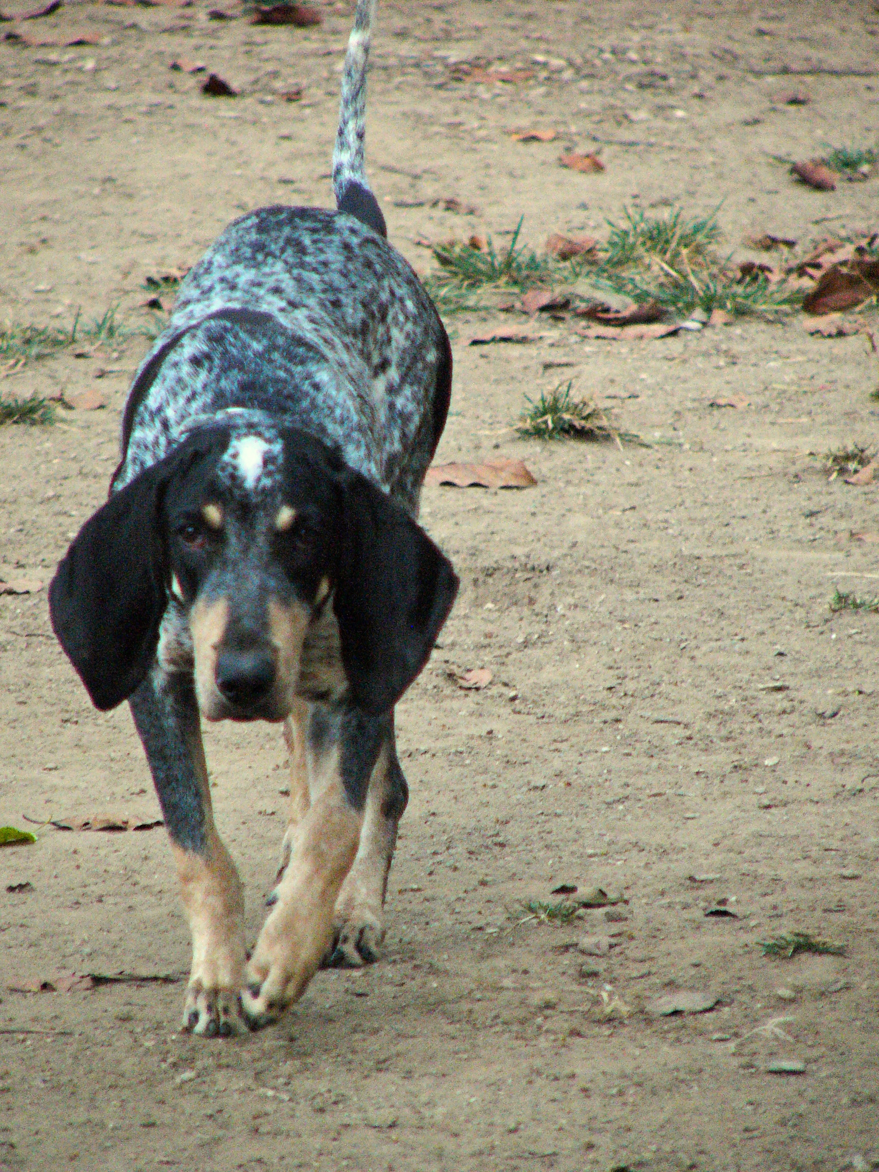 Walking Bleu de Gascogne Petit dog wallpaper