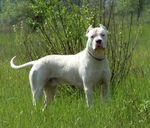 Кордовская бойцовая собака гуляет
