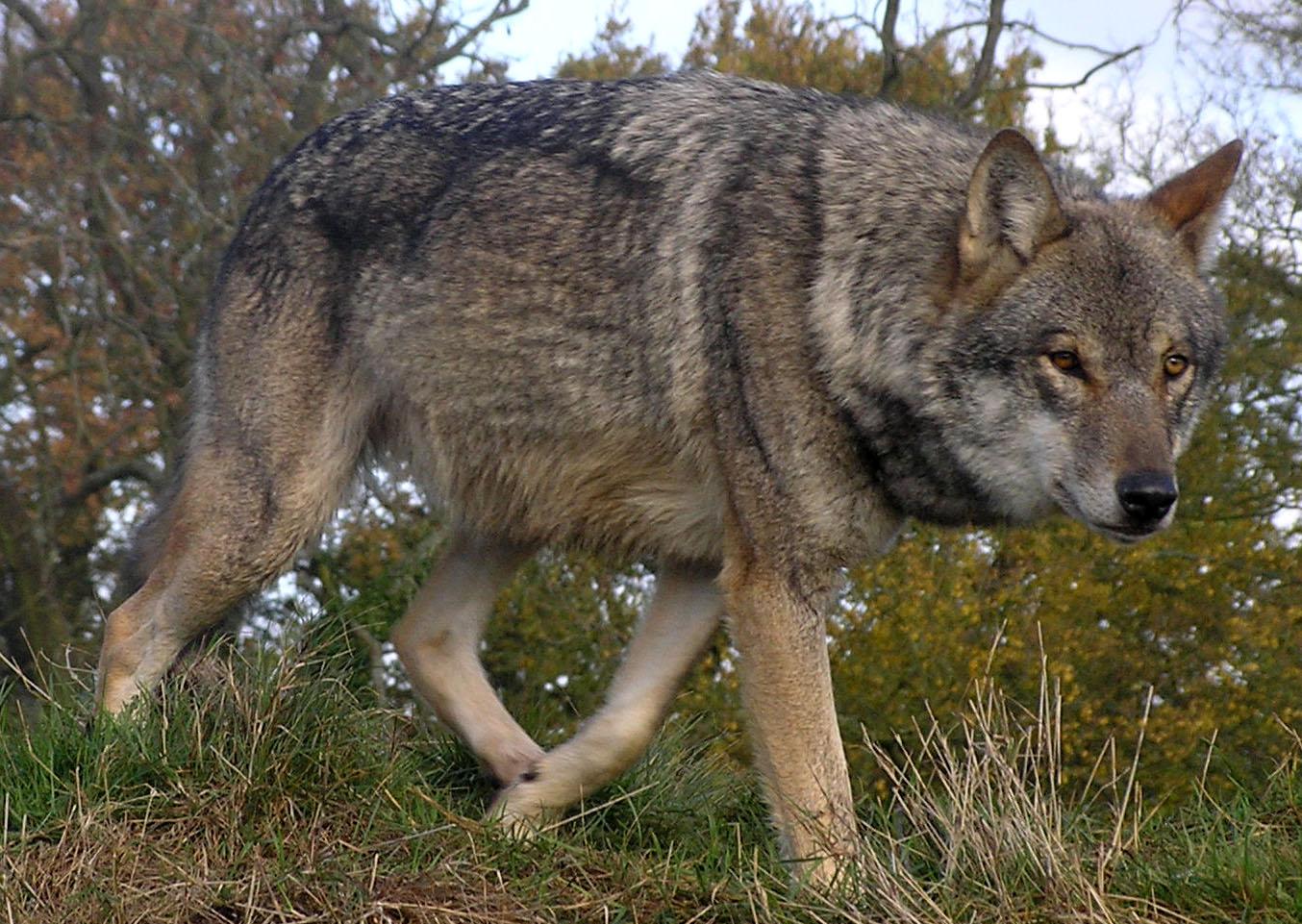 Walking Czechoslovak Wolfdog  wallpaper