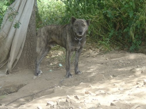 Walking Dogo Sardesco dog wallpaper