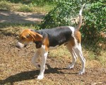 Walking English Foxhound dog