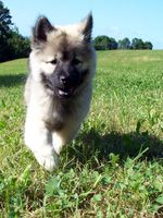 Walking Eurasier dog