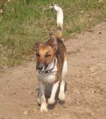 Walking Fox Terrier (Smooth) dog