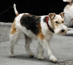 Walking Fox Terrier,Wire dog