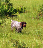 Walking German Wirehaired Pointer dog