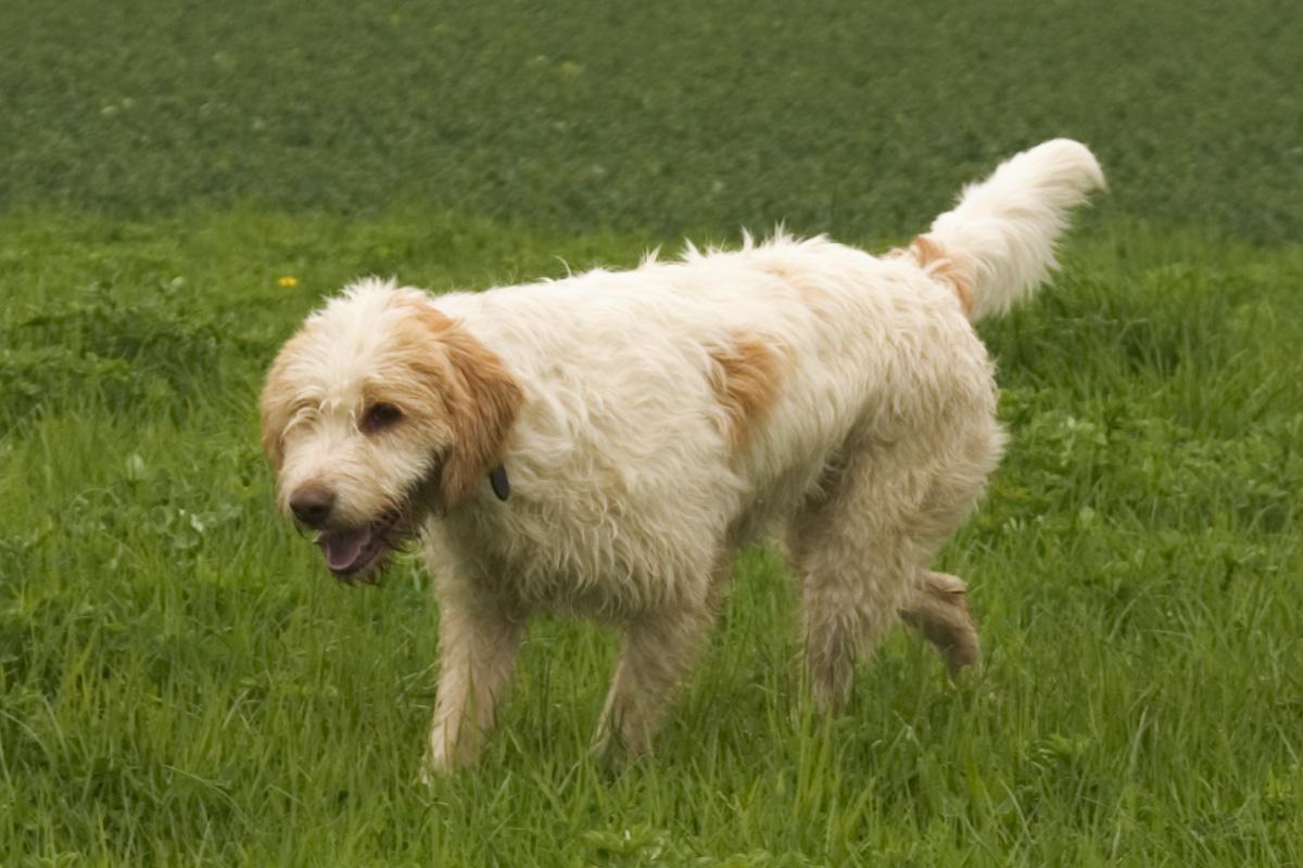 Walking Grand Griffon Vendéen dog  wallpaper