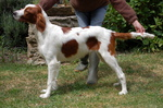 Walking Irish Red and White Setter dog