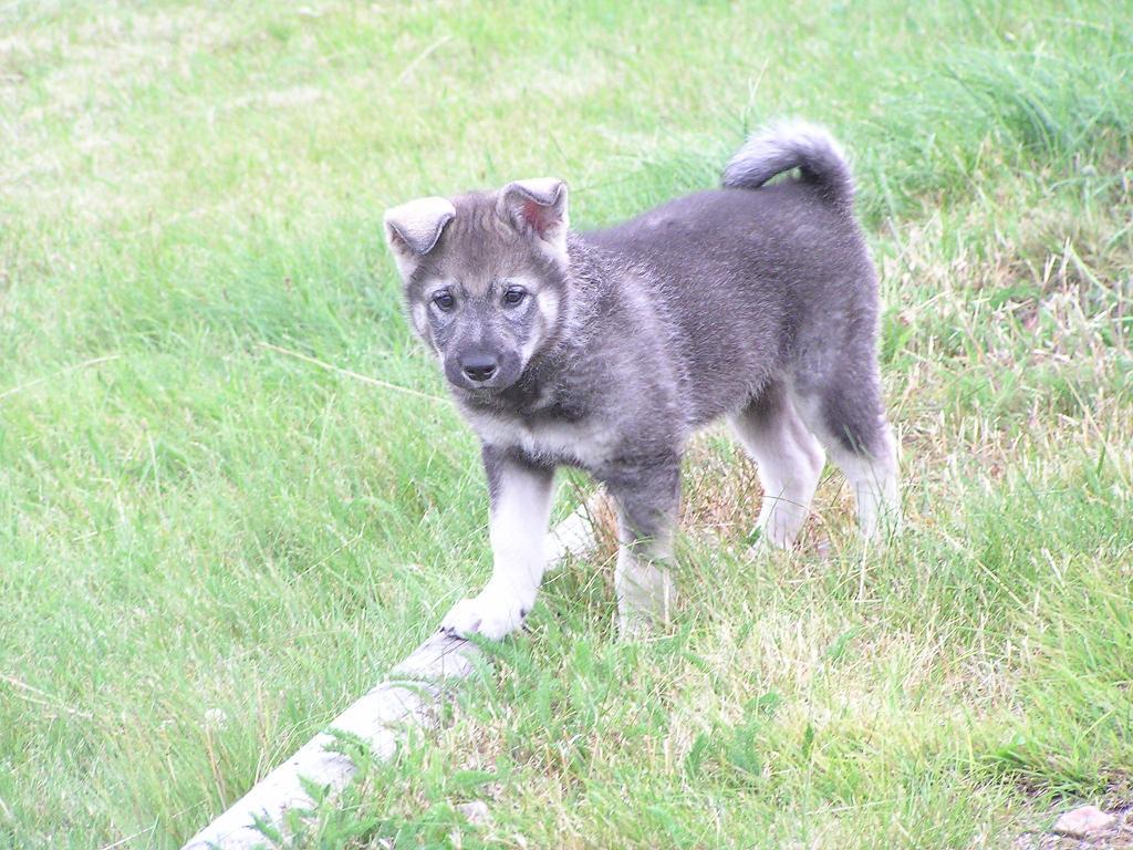 Walking Jämthund puppy wallpaper