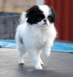 Walking Japanese Chin dog