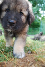 Walking Karst Shepherd puppy
