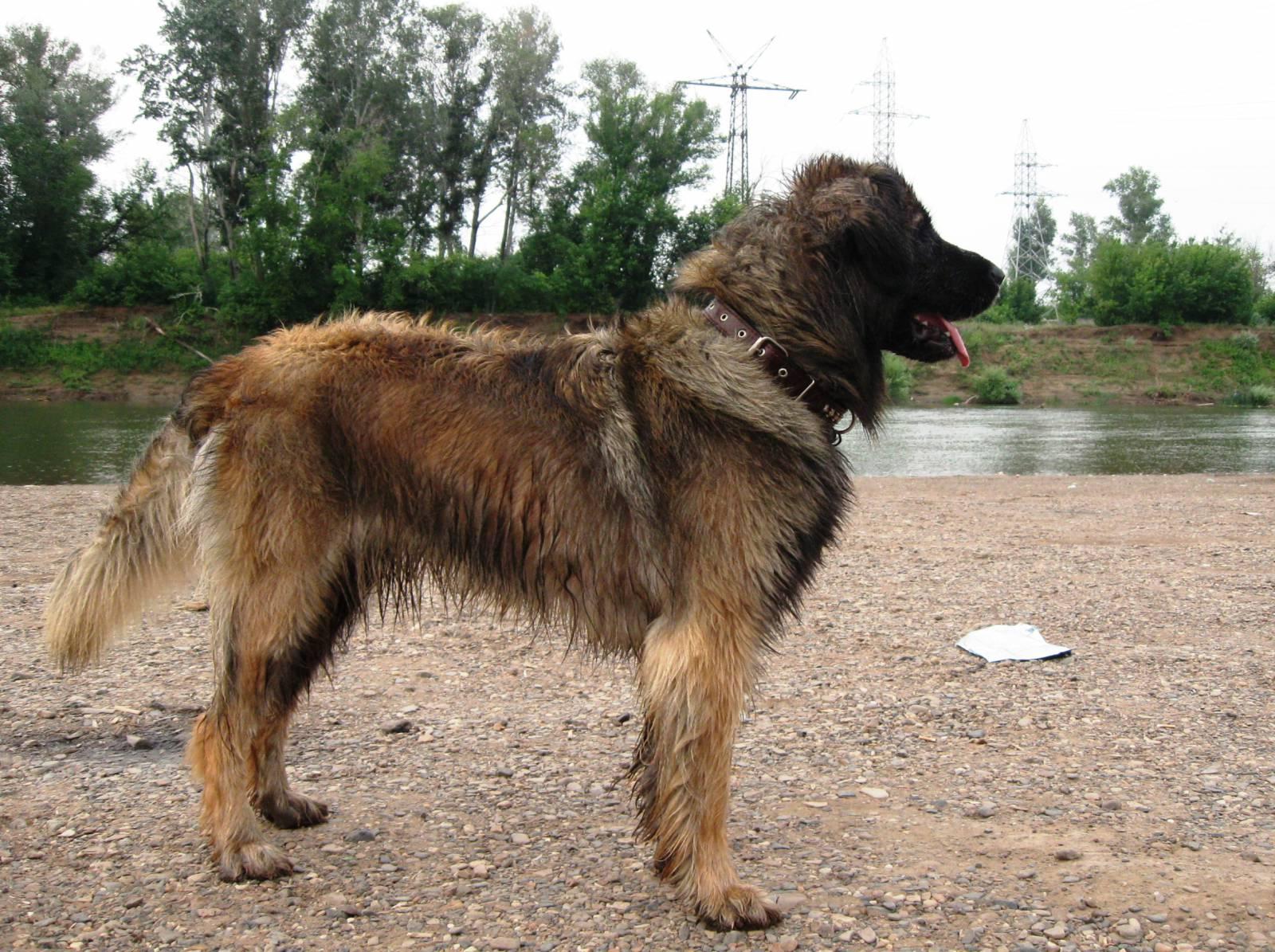 Walking Leonberger dog  wallpaper
