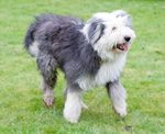 Walking Old English Sheepdog