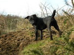 Walking Patterdale Terrier dog