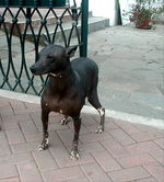 Walking Peruvian Hairless Dog
